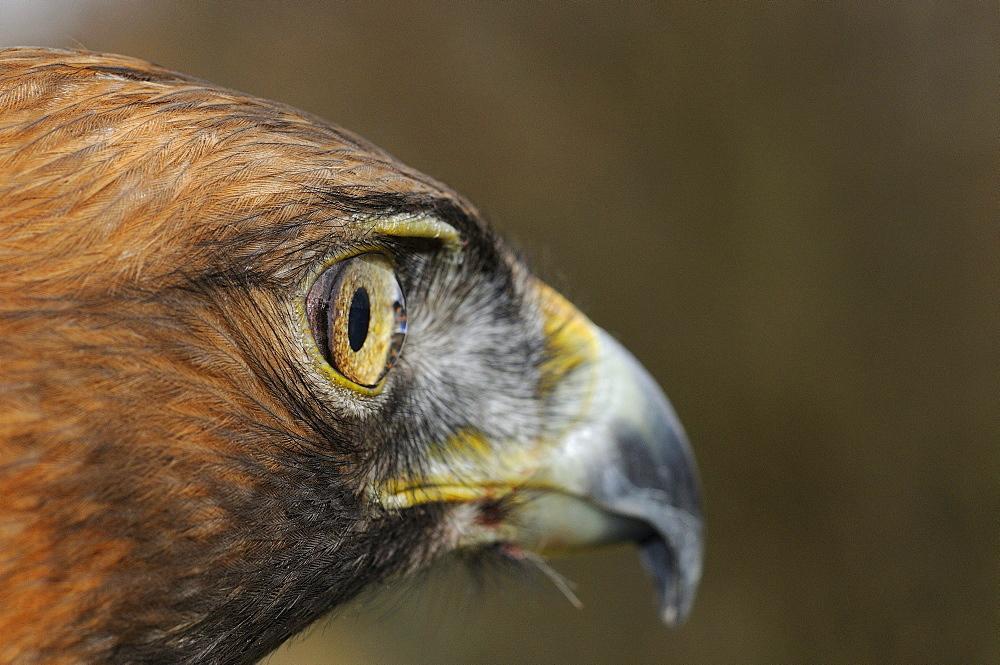 Golden eagle (aquila chrysaetos) close-up of side of head, scotland, captive