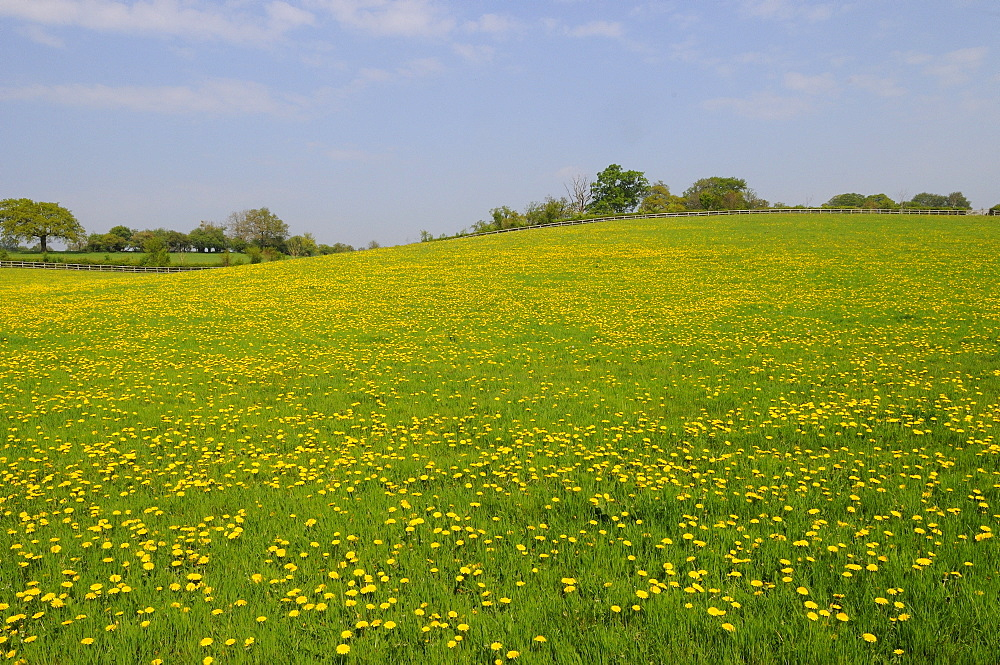 Field of common dandelion flowers (taraxacum officinale) oxfordshire, uk