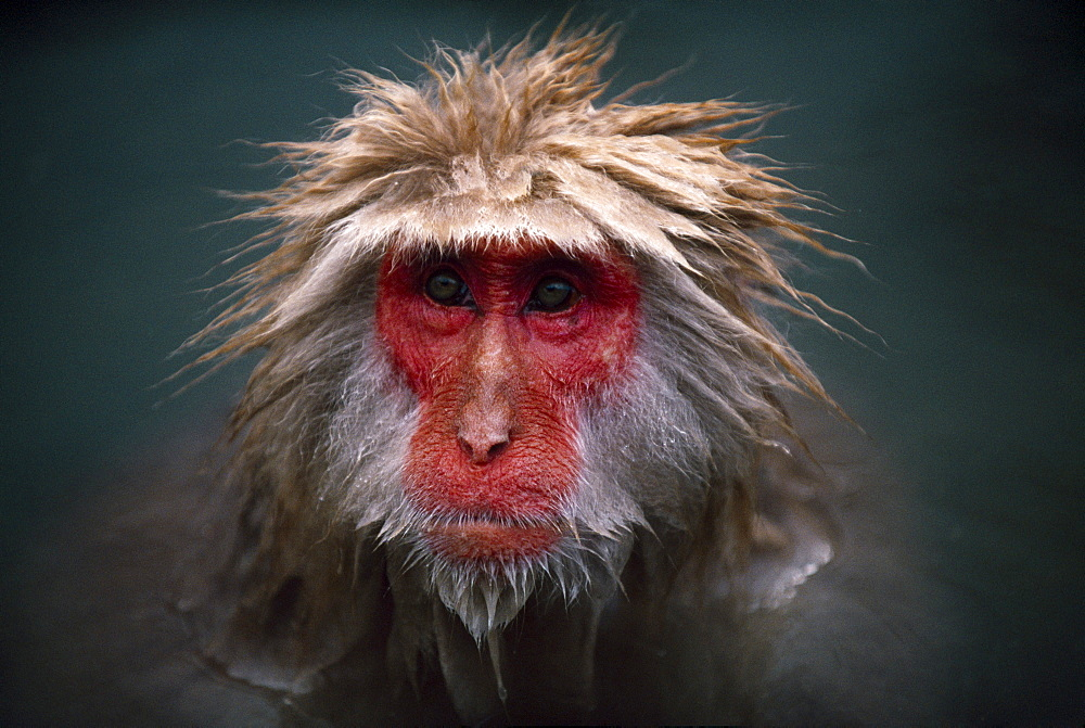 Japanese macaque (macaca fuscata) portrait, nagano, japan.