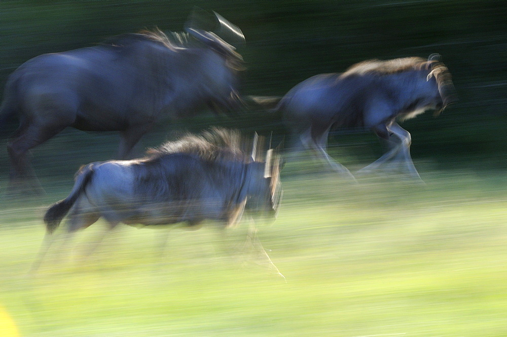 Brindled gnu or wildebeast (connochaetes taurinus) running, abstract blurred image, eastern cape, south africa