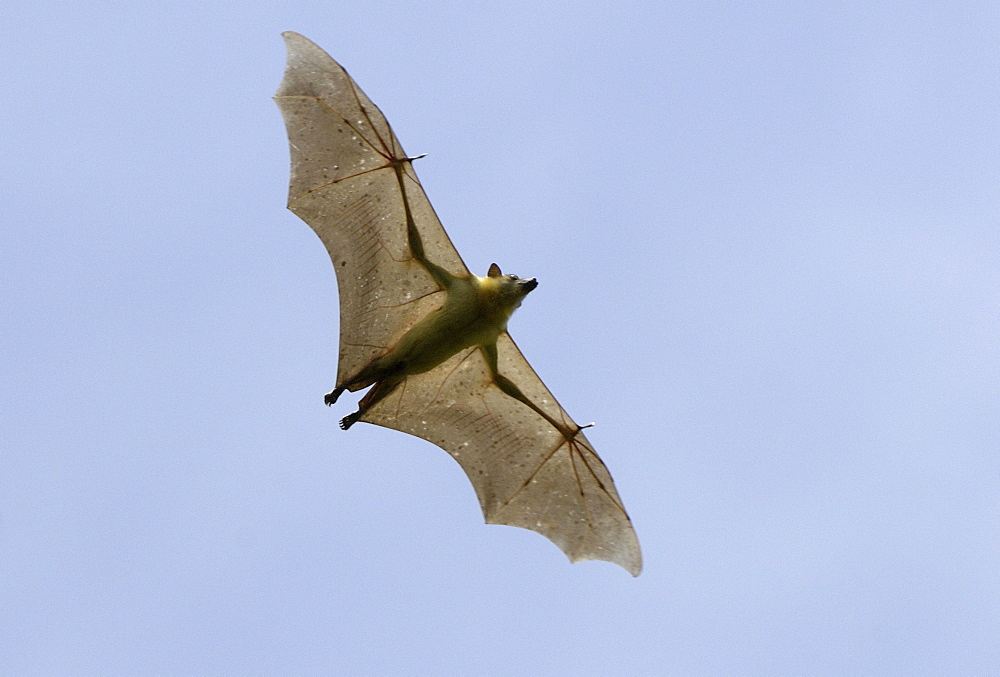 Straw-coloured fruit bat (eidolon helvum) kasanka national park, zambia, in flight