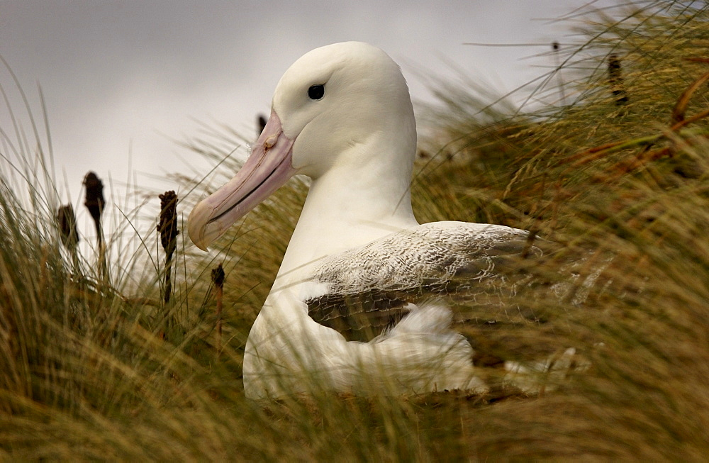 Southern royal albatross (diomedea epomophora) sitting on nest, campbell island, zealand
