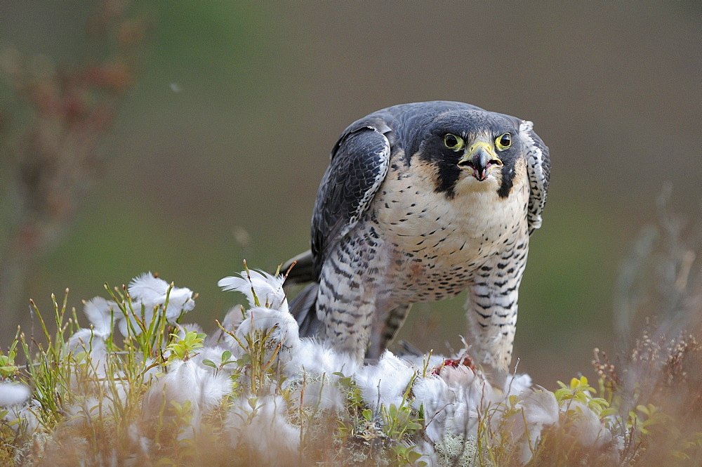 Peregrine falcon (falco peregrinus) feeding on pigeon, scotland, captive