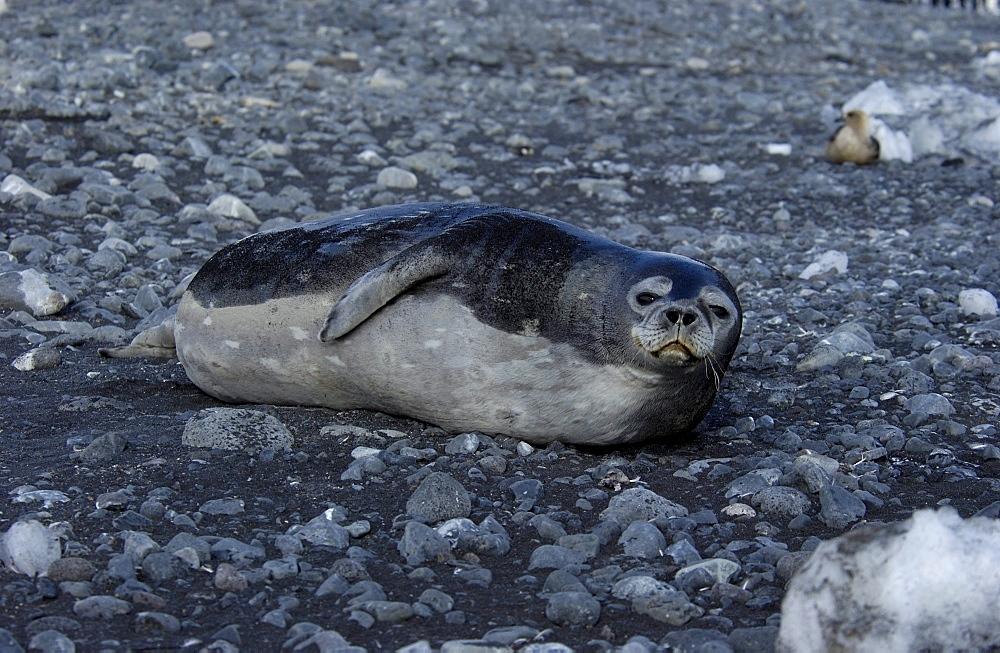 Weddell seal (leptonychotes weddellii) ross,antarctica