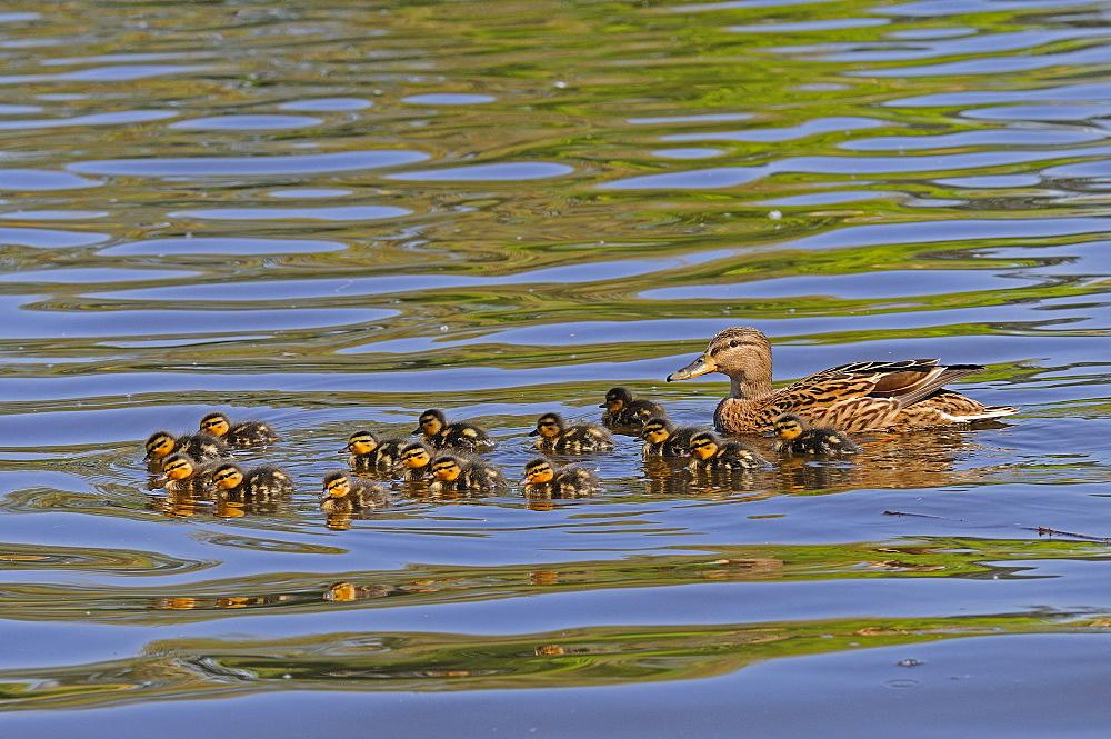 Mallard (anas platyrhynchos) female duck swimming with fifteen chicks, river thames, berkshire