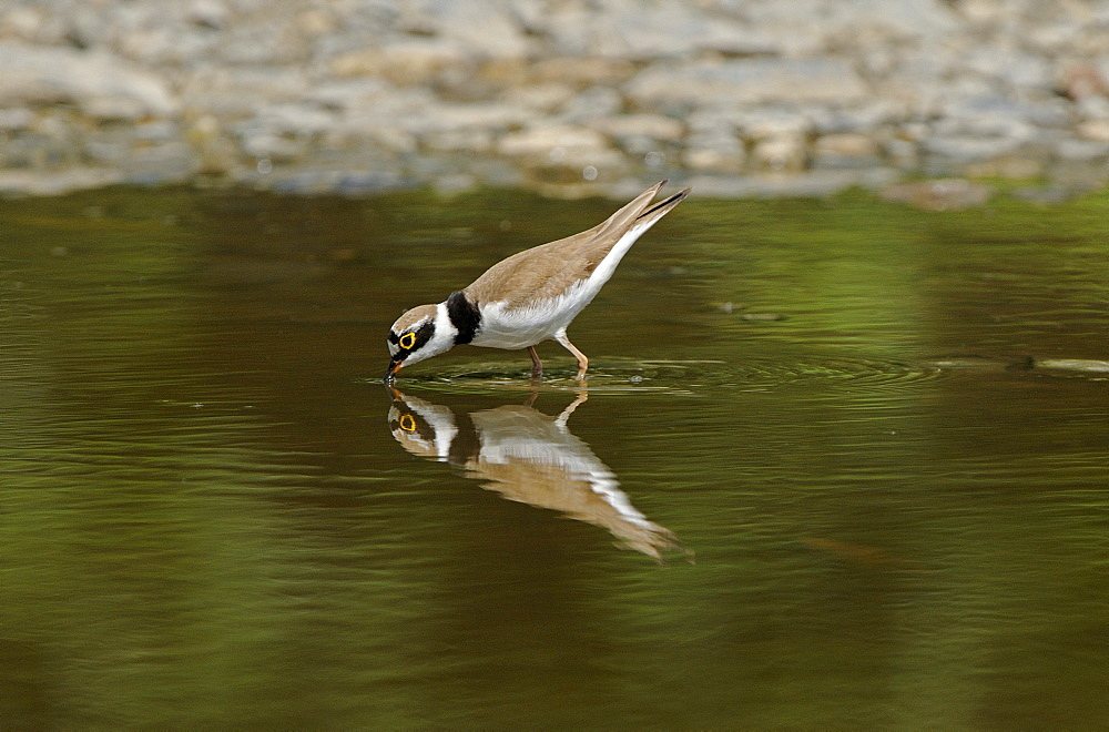 Little Ringed Plover (Charadrius dubius) standing in pool of water drinking, Bulgaria