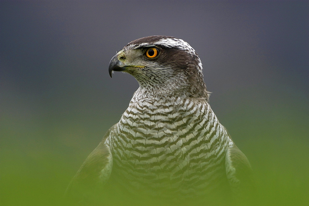 Northern goshawk, accipiter gentilis. Close-up of head and shoulders (captive). Scotland, uk