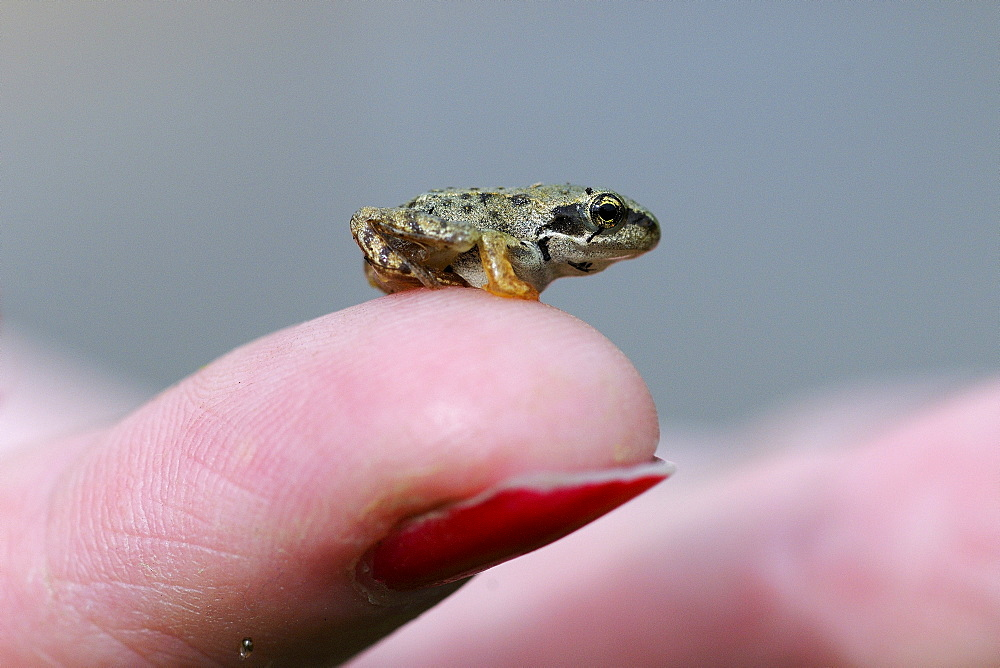 Common Frog (Rana temporaria) small froglet sitting on human finger, Oxfordshire, UK