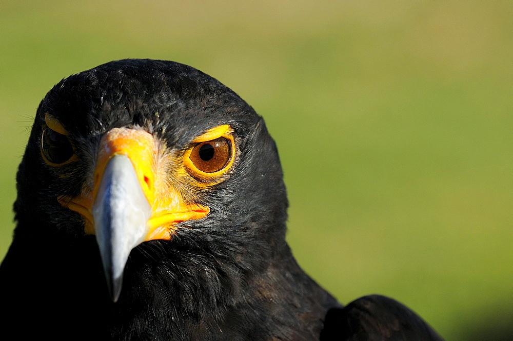 Verreauxs (black) eagle (aquila verreauxii) portrait, captive, south africa
