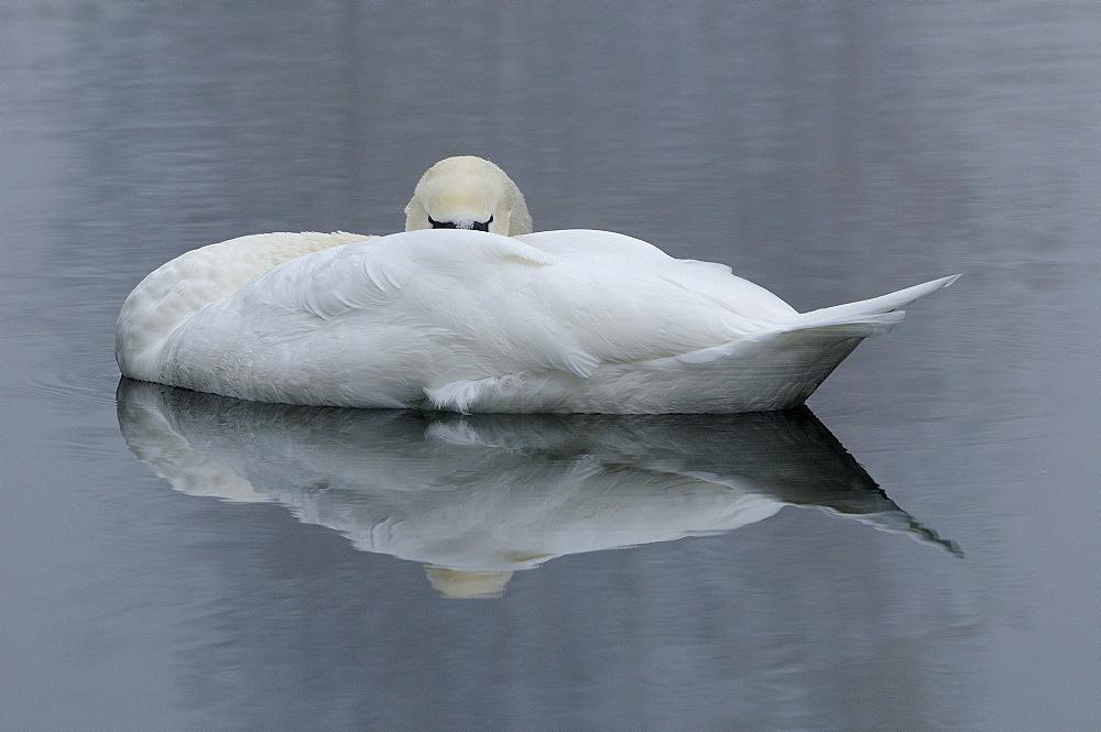 Mute swan (cygnus olor) asleep on the water, oxfordshire, uk