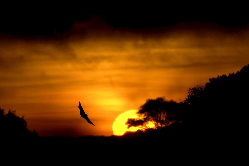 Straw-coloured fruit bat (eidolon helvum) kasanka national park, zambia, in flight at sunrise