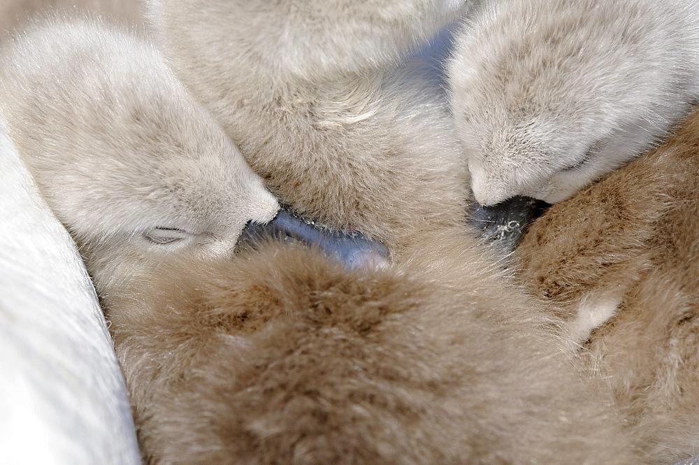 Mute swan (cygnus olor) cygnets asleep on mothers back, abbotsbury, uk