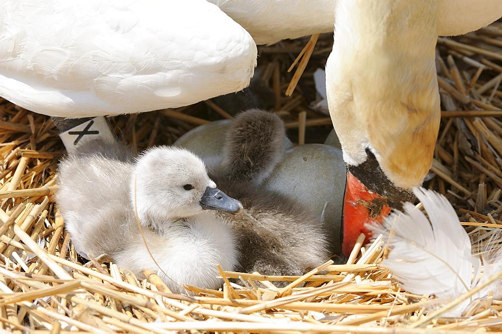 Mute swan (cygnus olor) adult turning eggs on nest, abbotsbury, uk