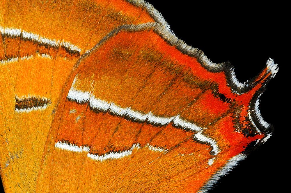 Brown hairstreak butterfly (thecla betulae) close,up of rear wing showing tail, oxfordshire, uk