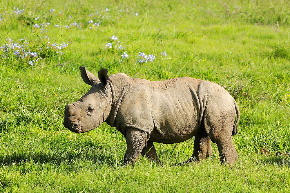 White rhinoceros (ceratotherium simum) calf, eastern cape, south africa