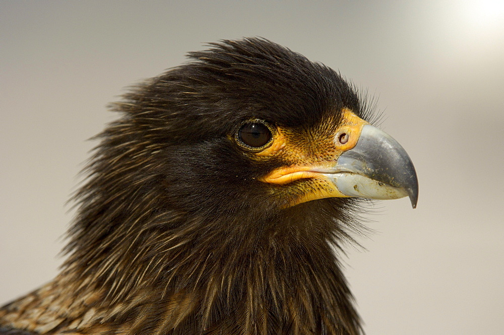Striated caracara (phalcoboenus australis) new island, falkland islands, portrait.