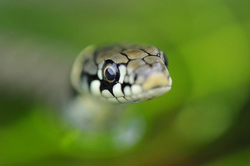 Grass snake (natrix natrix) close,up of head of young snake, oxfordshire, uk