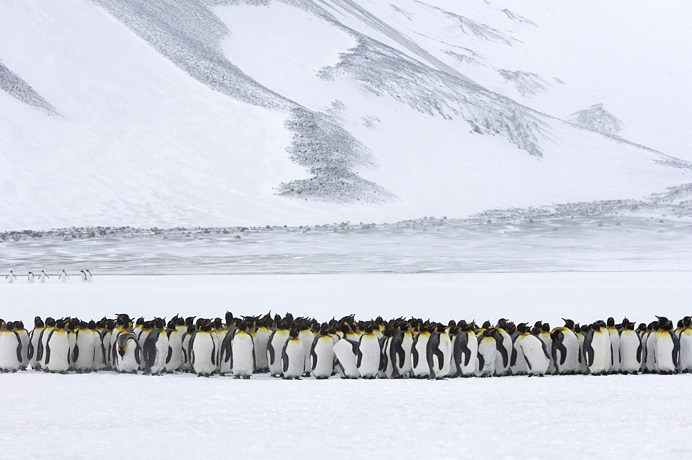 King penguins (aptenodytes patagonicus) right whale bay, south georgia, large group huddled together in snowy terrain