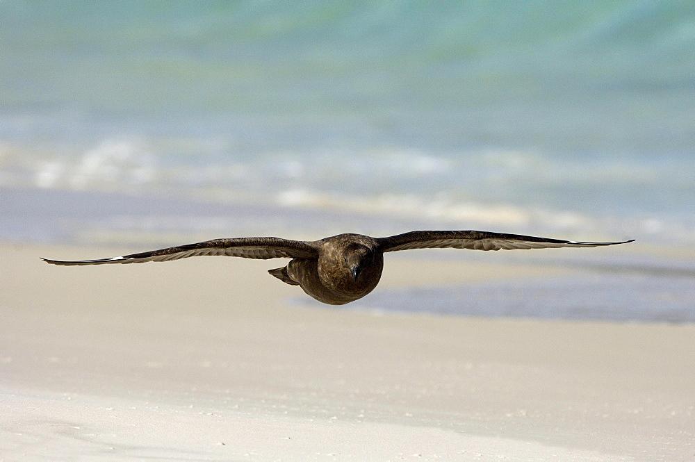 Antarctic skua (catharacta antarctica) new island, falkland islands, in flight over the beach.