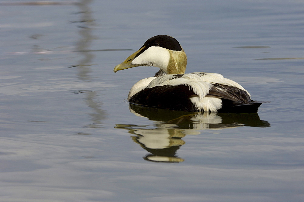 Eider duck (somateria molissima), northumberland, uk, drake swimming.