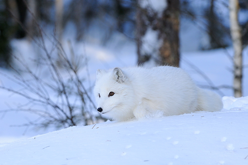 Arctic fox (alopex lagopus) walking in snow, norway captive