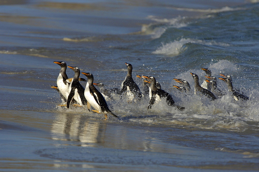 Gentoo penguins (pygoscelis papua) new island, falkland islands, group coming ahsore through the surf.