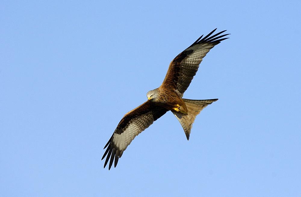 Red kite (milvus milvus) oxfordshire, uk, in flight.