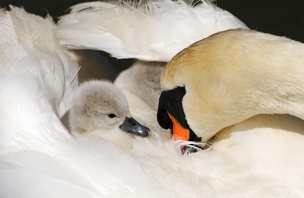 Mute swan (cygnus olor) cygnet on mothers back, abbotsbury, uk