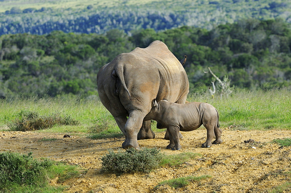 White rhinoceros (ceratotherium simum) calf mother and suckling calf, eastern cape, south africa