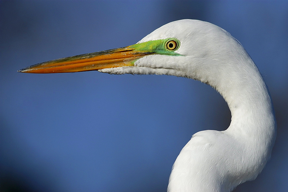 Great egret. Ardea alba. Close-up, showing breeding colours on face. Florida, usa