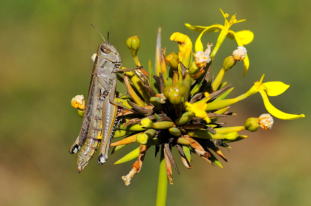 Grasshopper (eyprepocnemis species) perched on flower head, eastern cape, south africa