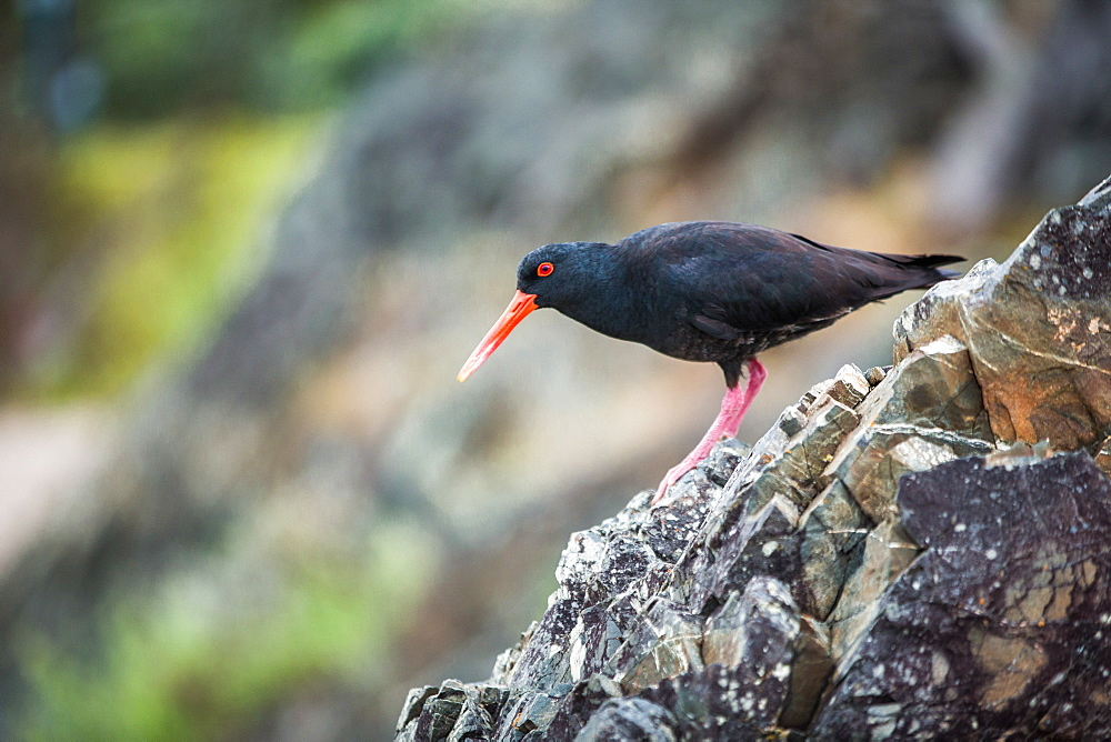 Oystercatcher (Haematopus), Coromandel Peninsula, North Island, New Zealand, Pacific