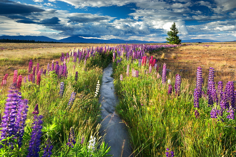Lupin lined stream, near Lake Tekapo, Mackenzie Country, South Island, New Zealand, Pacific - 1199-18