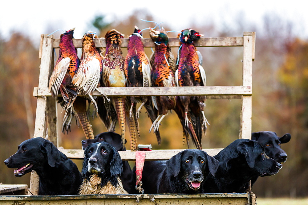 Gun dogs, Buckinghamshire, England, United Kingdom, Europe