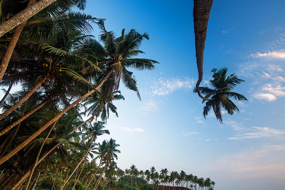 Palm trees, Mirissa, Sri Lanka, Asia