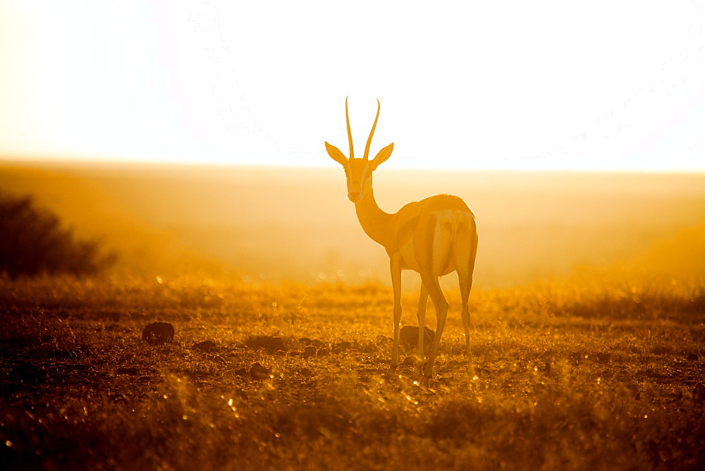 Springbok at sunset, Kenya, East Africa, Africa