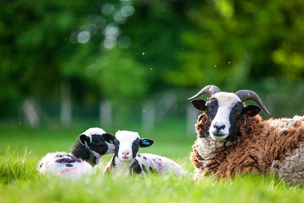Spring lambs, Dorset, England, United Kingdom, Europe