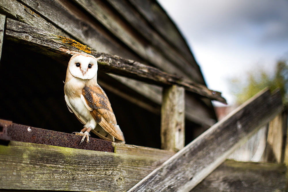 Barn owl (Tyto alba), Wheatley, Oxfordshire, England, United Kingdom, Europe