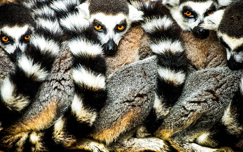 Lemurs (Lemuroidea), Cotswold Safari Park, Oxfordshire, England, United Kingdom, Europe
