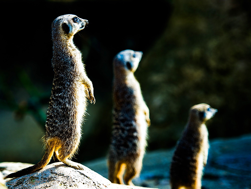 Meerkats (Suricata suricatta) in captivity, United Kingdom, Europe