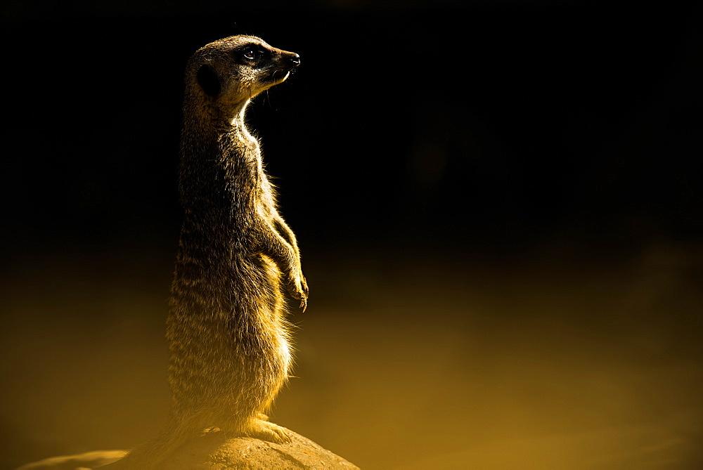 Meerkat (Suricata suricatta), in captivity, United Kingdom, Europe