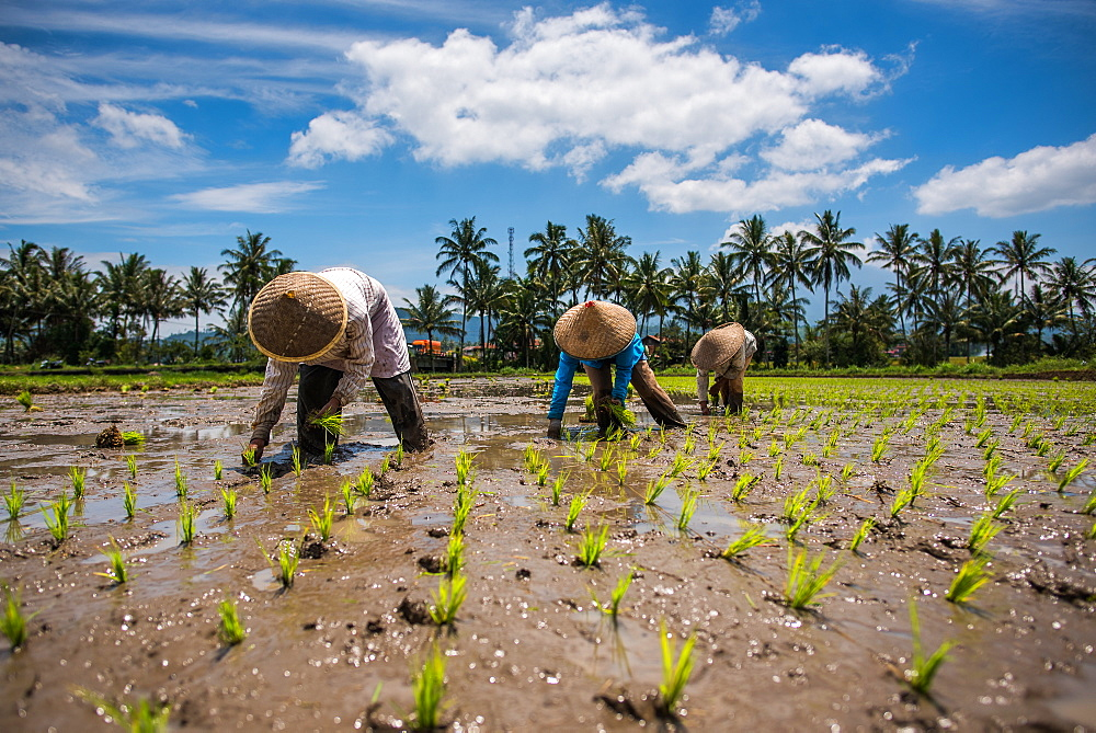 workers in a Padi field, Sumatra, Indonesia, Southeast Asia