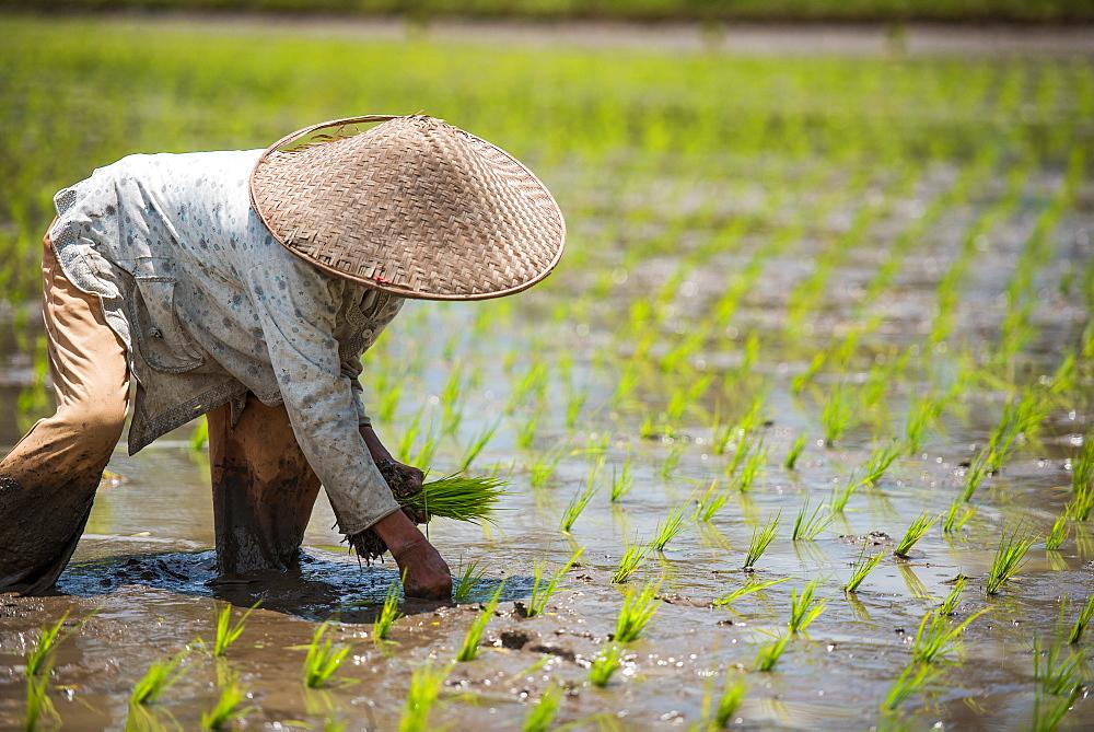 workerin a Padi field, Sumatra, Indonesia, Southeast Asia - 1199-412