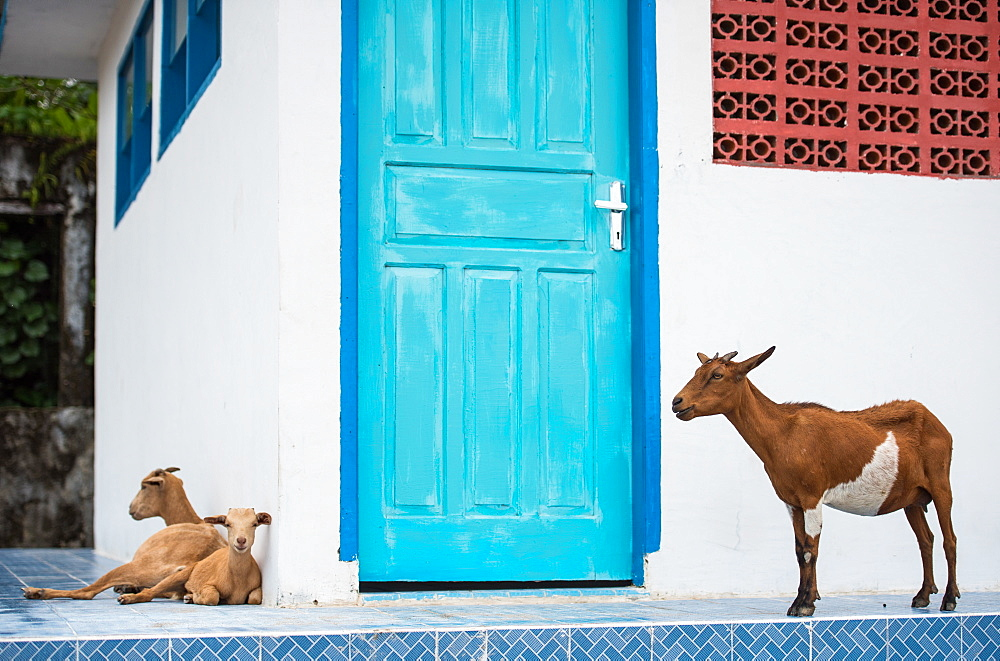 Goats, Indonesia, Southeast Asia