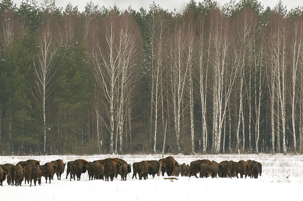 European bison (Bison bonasus) herd walking on snow covered field in February, Bialowieza National Park, Podlaskie Voivodeship, Poland, Europe