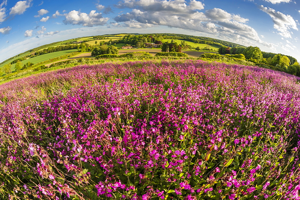 Red campion (Silene dioica) flowering mass, growing on arable farmland in May, evening sunlight, Kent, England, United Kingdom, Europe - 1200-23
