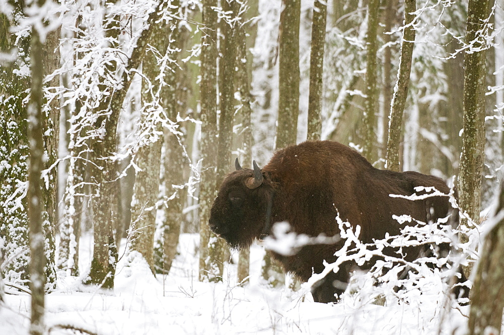 European bison (Bison bonasus) bull with radio tracking collar, standing in snow covered forest habitat in February, Bialowieza National Park, Podlaskie Voivodeship, Poland, Europe