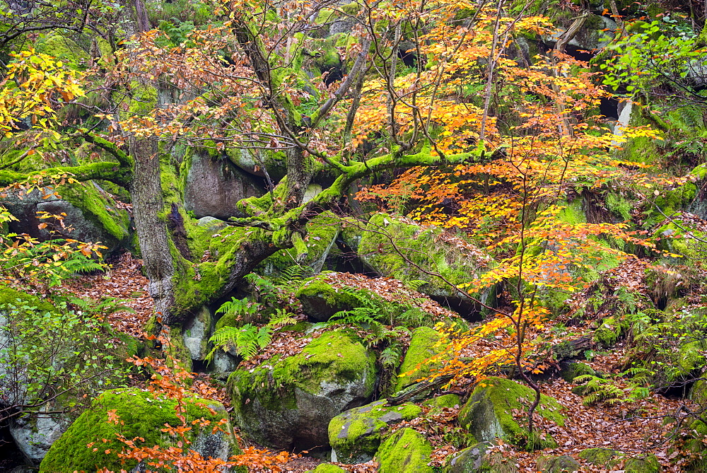 Autumn colour in October, Padley Gorge, Peak District National Park, Derbyshire, England, United Kingdom, Europe - 1200-36