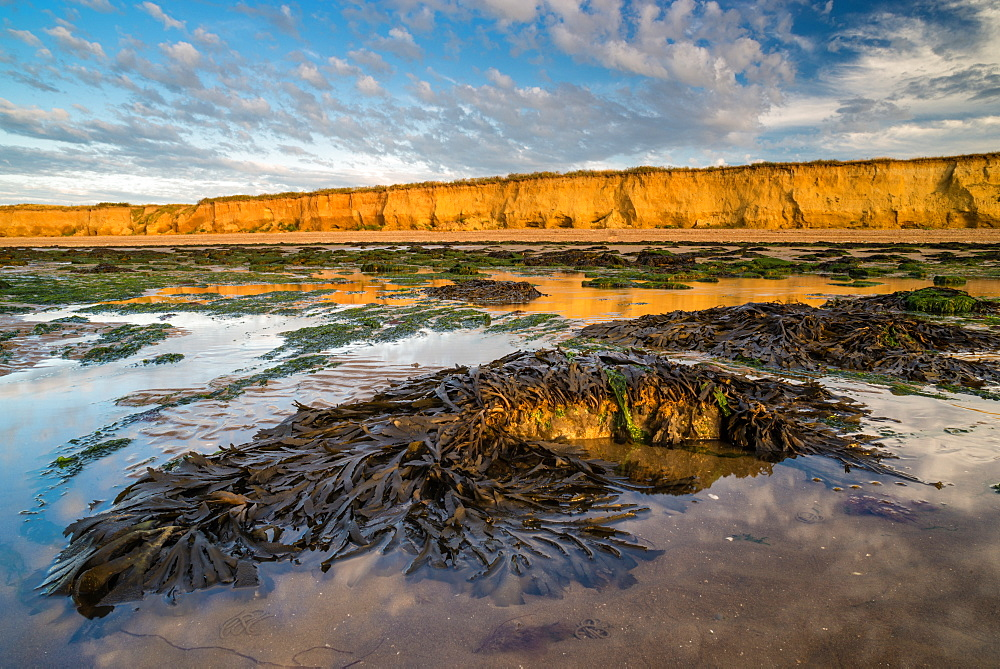 Toothed wrack (Fucus serratus) fronds, exposed on beach at low tide, Reculver, Kent, England, United Kingdom, Europe - 1200-52