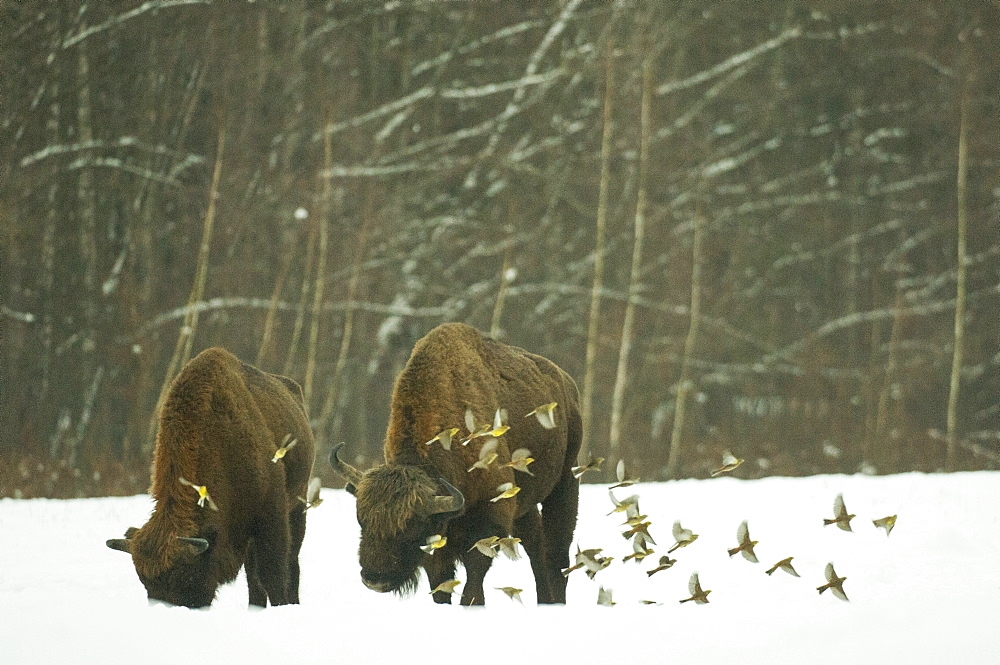 European bison (Bison bonasus) bull, standing in snow covered meadow in February, with yellowhammer (Emberiza citrinella) flock in flight, Bialowieza National Park, Podlaskie Voivodeship, Poland, Europe
